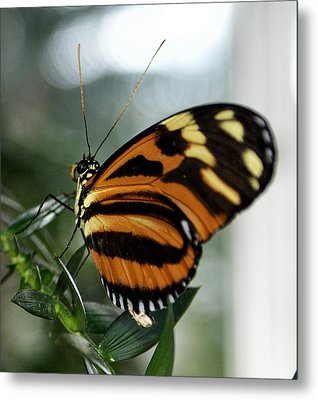 Sunrise Butterfly Metal Print by Jean Haynes