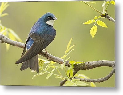 Swallow Metal Print by Mircea Costina Photography