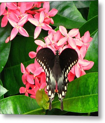 Swallow-wing Butterfly Metal Print