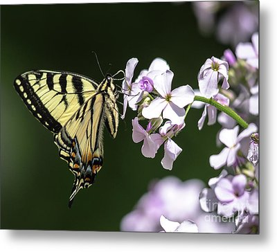 Swallowtail Butterfly On Phlox Metal Print