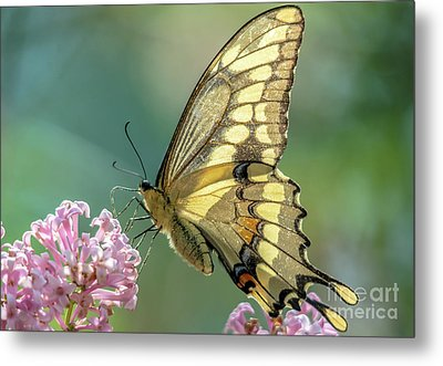 Swallowtail Butterfly On Teal Metal Print