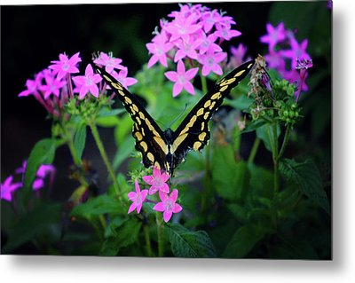 Swallowtail Butterfly Rests On Pink Flowers Metal Print by Toni Hopper