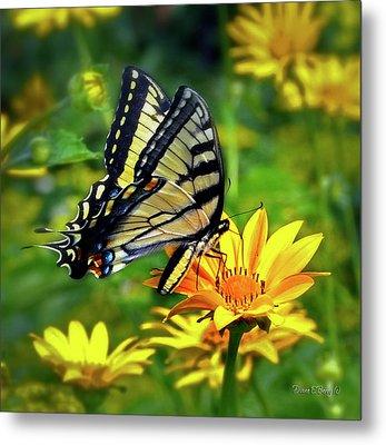 Swallowtail Dance Metal Print by Diane E Berry
