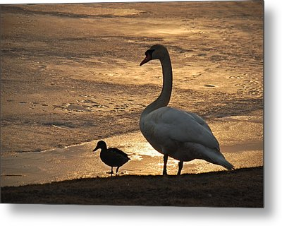 Metal Print featuring the photograph Swan And Baby At Sunset by Richard Bryce and Family