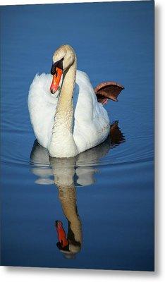 Swan Reflection Metal Print by Karol Livote