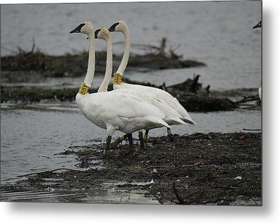 Metal Print featuring the photograph Swans Line Dancing by Ron Read