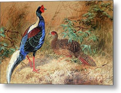 Swinhoe's Pheasant  Metal Print