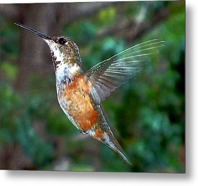Tan Hummingbird Metal Print by Joseph Frank Baraba
