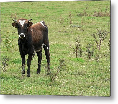Teen Cow Metal Print