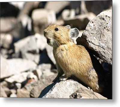 The Call Of The Pika Metal Print by DeeLon Merritt