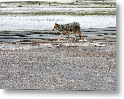 The Coyote - Dogs Are By Far More Dangerous Metal Print by Christine Till