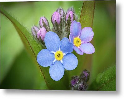 Metal Print featuring the photograph The First Blossom Of The Forget Me Not by William Lee
