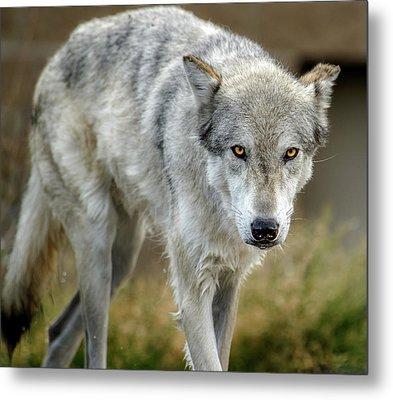 The Grey Wolf Shake Metal Print