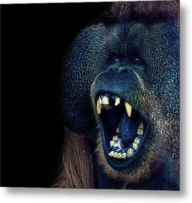 The Laughing Orangutan Metal Print