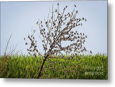 Metal Print featuring the photograph The More The Merrier- Tree Swallows  by Ricky L Jones