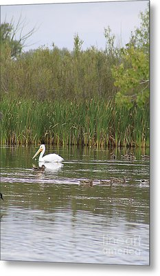 Metal Print featuring the photograph The Pelican And The Ducklings by Alyce Taylor