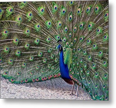 Metal Print featuring the photograph The Proud Peacock by Thanh Thuy Nguyen