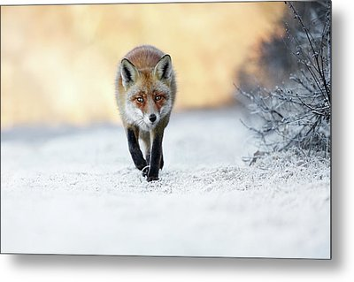 The Red, White And Blue - Red Fox In The Snow Metal Print by Roeselien Raimond