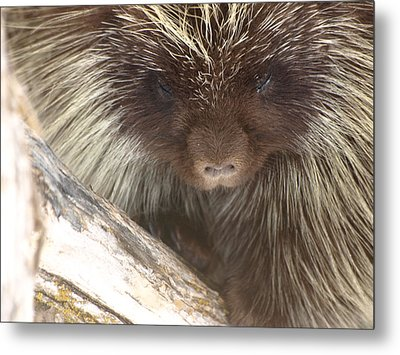 The Tender Side Of Porcupine Metal Print by DeeLon Merritt