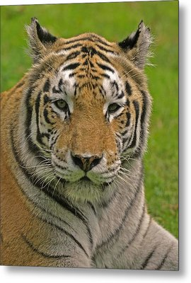 The Tiger's Stare Metal Print