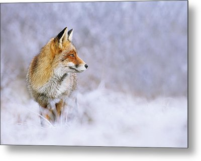 The White, Red And Blue- Red Fox In The Snow Metal Print by Roeselien Raimond