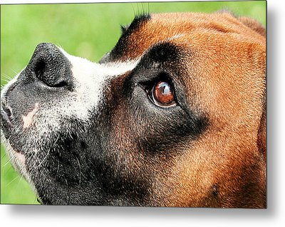 Thinking Of You - Boxer - Vindy Metal Print by Renae Laughner