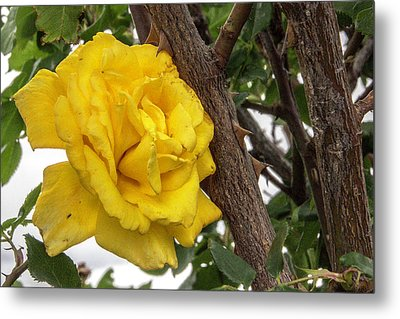 Metal Print featuring the photograph Thorny Love by Charles Ables