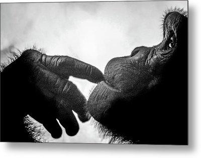 Thoughtful Chimpanzee Metal Print
