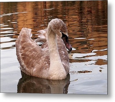 Thoughtful - Juvenile Mute Swan Metal Print by Gill Billington