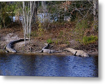 Three Alligators Metal Print