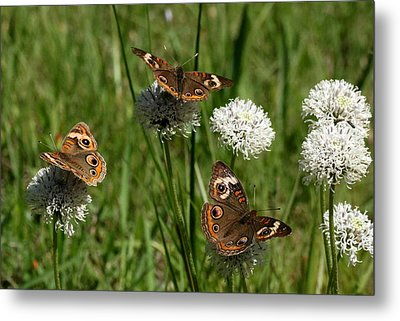 Three Buckeye Butterflies On Wildflowers Metal Print