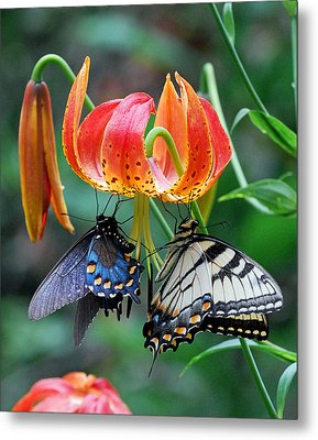 Tiger And Black Swallowtails On Turk's Cap Lilly Metal Print