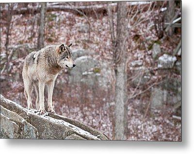 Timber Wolf On Rocks Metal Print