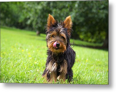 Toby In The Startup ...  Metal Print by Angela Doelling AD DESIGN Photo and PhotoArt
