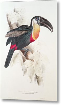 Toucan Metal Print by Edward Lear