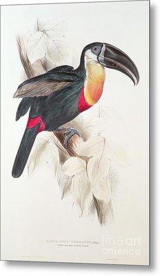 Toucan Metal Print by Edward Lear