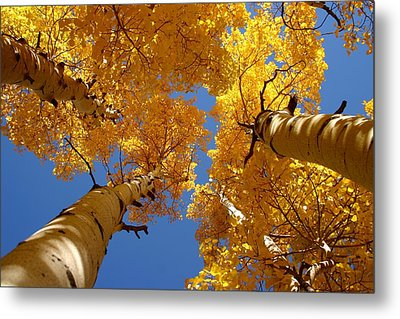 Towering Aspens Metal Print by Perspective Imagery