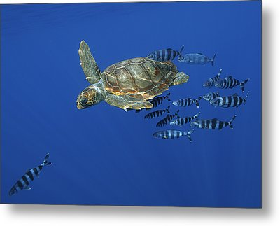 Trailed By Pilotfish, A Young Metal Print by
