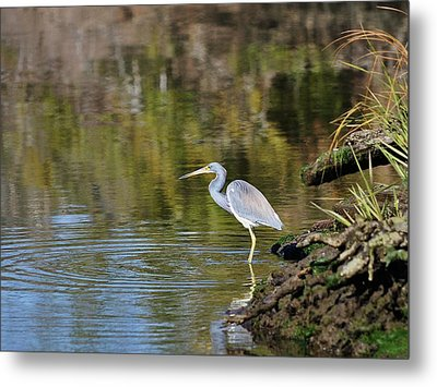 Tricolored Heron Fishing Metal Print by Al Powell Photography USA
