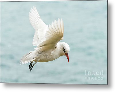 Tropic Bird 4 Metal Print
