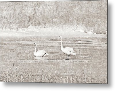 Metal Print featuring the photograph Trumpeter Swan's Winter Rest Beige by Jennie Marie Schell