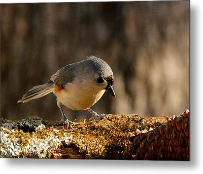 Tufted Titmouse In Fall Metal Print