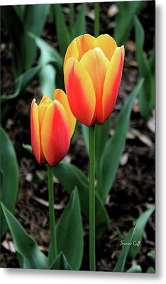 Tulip Magic Iv Metal Print by Suzanne Gaff