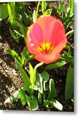 Metal Print featuring the photograph Tulip Opening by Kicking Bear  Productions