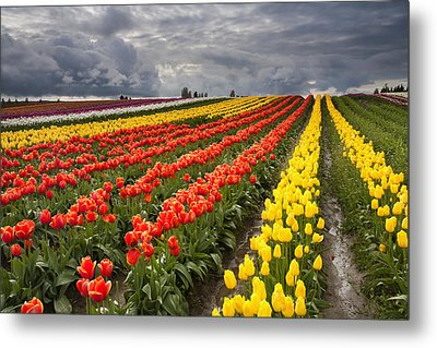 Tulip Storm Metal Print by Mike  Dawson