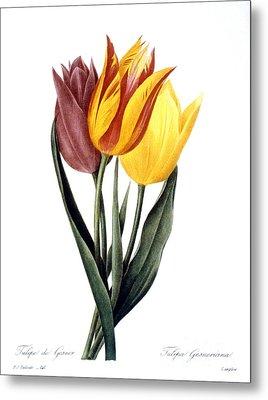 Tulip (tulipa Gesneriana) Metal Print by Granger