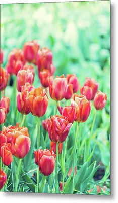 Tulips In Amsterdam Metal Print