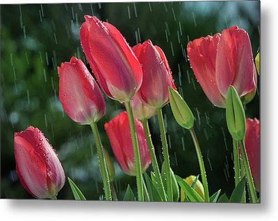 Metal Print featuring the photograph Tulips In The Rain by William Lee
