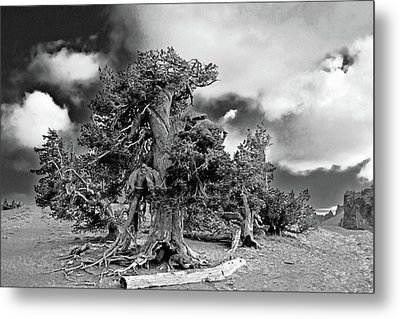 Twisted Old Bristlecone Pine Above Crater Lake - Oregon Metal Print