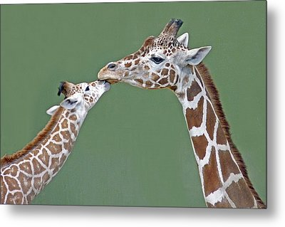 Two Giraffes Metal Print by images by Nancy Chow